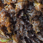 Foraging: Pepper Dulse