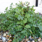 FORAGING: Smooth Sowthistle