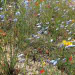 Weeds, Wildflowers,  Glyphosate – And A Petition