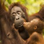 Ian Wood: Great Apes