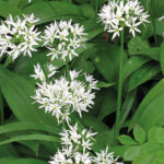 Wild Garlic Adventures